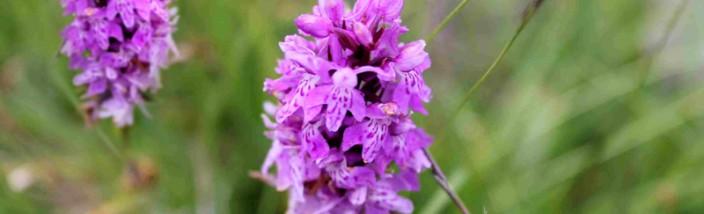 orchidee-legambiente-valtriversa